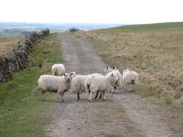 Sheep on the track to Crossgreens