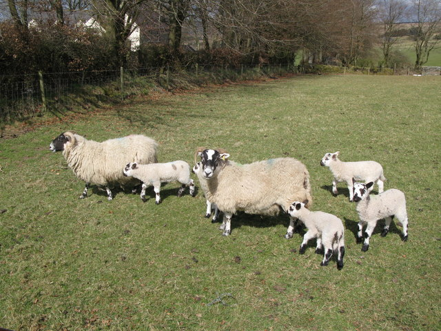 Swaledale sheep and lambs near New House
