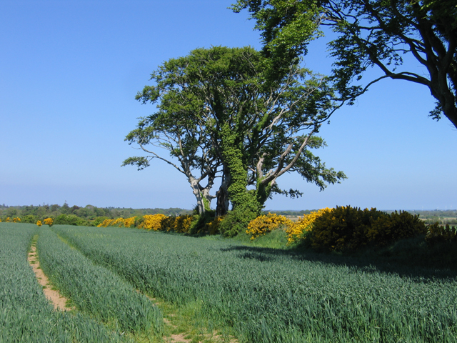 Wheat field near Kilnamanagh Lower, Co. Wexford