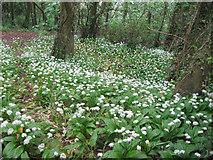 SX9364 : Bishops Walk through three cornered leek flowers by John Firth