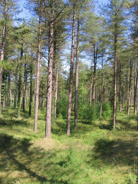 Pine woods on The Raven dunes, Co. Wexford
