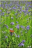 NZ5712 : Bluebells and Peacock Butterfly, Newton Wood by Mick Garratt