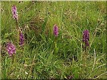 SX9364 : Orchids, Walls Hill by Derek Harper