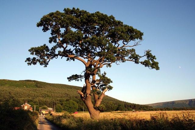 Lone Tree, Bank Foot Lane