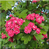 SO9096 : Midland Hawthorn blossom by Roger  Kidd