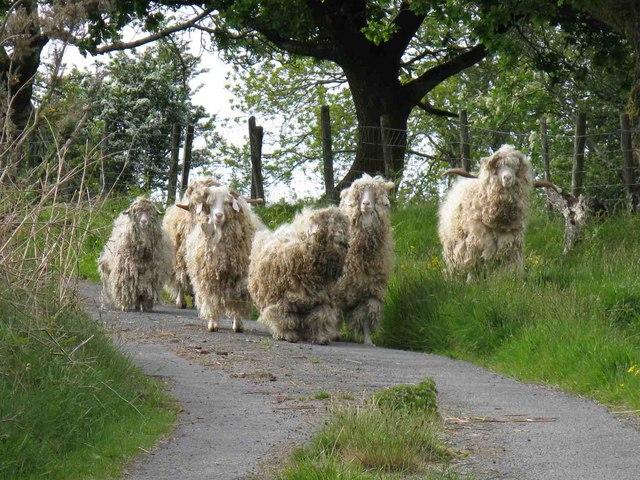 Angora Goats on Mynydd Allt-y-grug