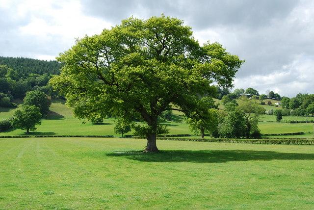 Magnificent oak tree at Pont-y-Llan