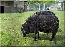 TA0729 : West Park sheep, Hull by Paul Harrop