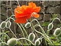 NY7957 : Bristly poppies in a country lane by Joan Sykes