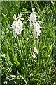 NJ1266 : Wild Hyacinths by Anne Burgess