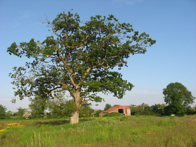 Oak tree at Keenoge, Co. Meath