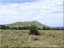 NS6781 : Christmas tree on the plateau by Robert Murray