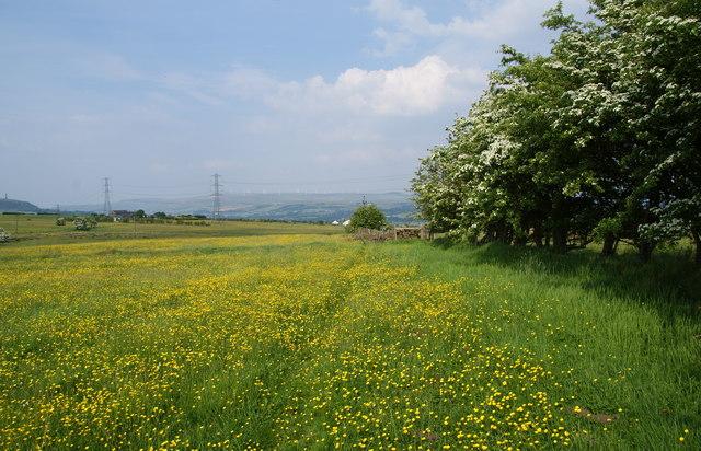 A path through the buttercups