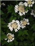SX8672 : Guelder rose in flower, Newton Abbot by Derek Harper