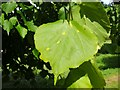 NS3978 : Leaf galls on lime by Lairich Rig