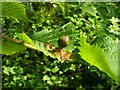 NS3977 : Fig gall on wych elm by Lairich Rig