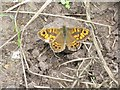 NY0667 : Wall brown butterfly at Powhillon by M J Richardson