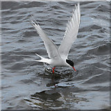 HP5605 : Arctic Tern (Sterna paradisea), Westing beach by Mike Pennington