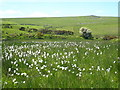 SX1879 : Cotton grass (Eriophorum angustifolium) by Rod Allday