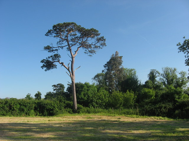 Scots Pine at Crufty, Co. Meath