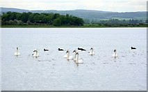 NU1535 : Swans and eider ducks, Budle Bay by Andrew Curtis