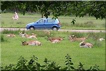 TQ1872 : Deer, Richmond Park by Derek Harper