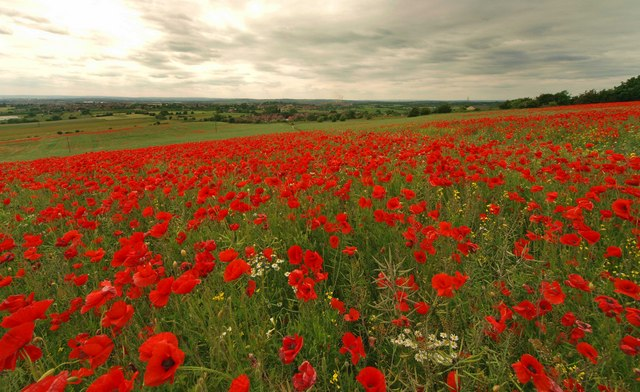 Windmill hill poppy field Brierley near Barnsley