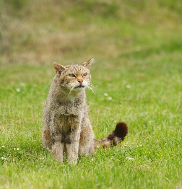 Wild Cat At The British Wildlife Centre 169 Peter