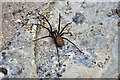 SS9769 : Common House Spider by Mick Lobb