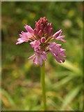 SX9066 : Orchid, Barton tip by Derek Harper