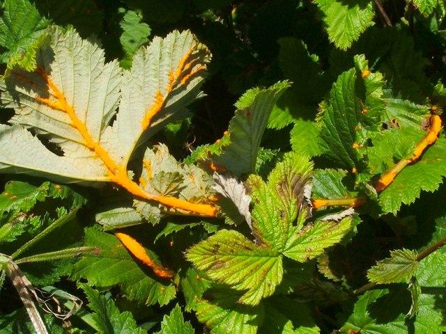 Meadowsweet Rust (Triphragmium ulmariae)