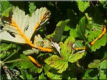 NS3976 : Meadowsweet Rust (Triphragmium ulmariae) by Lairich Rig