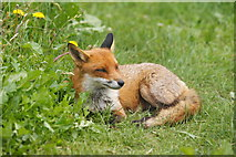 TQ3643 : Red Fox at the British Wildlife Centre, Newchapel, Surrey by Peter Trimming