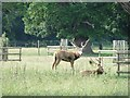 TF7927 : Stags in the Deer Park at Houghton Hall, Norfolk by Adrian S Pye