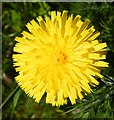 NJ3265 : Hawkweed or Hawkbeard by Anne Burgess