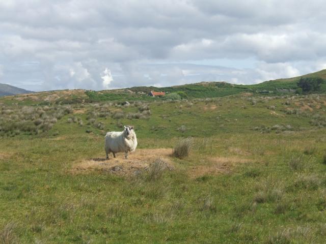 Rough grazing on Drumanoo Head