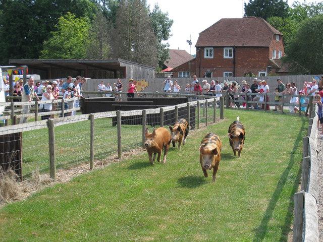 Pig Racing at Rare Breeds Centre