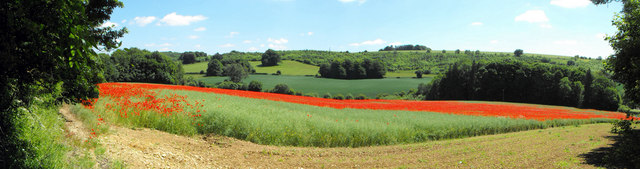 Coberley poppy field