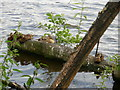 NZ4315 : Ducks on a log in the water  -  River Tees by Peter S