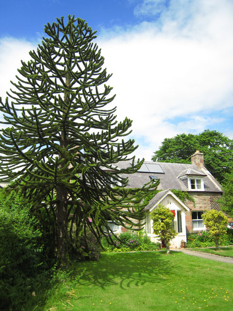 Dingwall: monkey puzzle tree