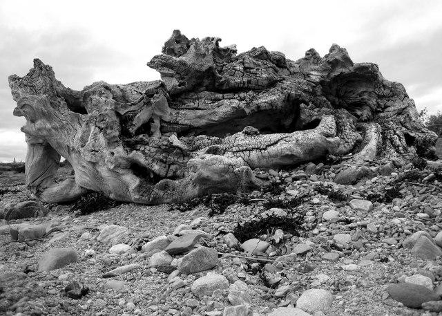 Kiltearn: driftwood