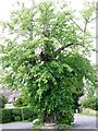 ST8304 : Lime tree, Winterborne Stickland by Maigheach-gheal