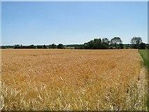 TM4592 : Field of Barley by Adrian S Pye