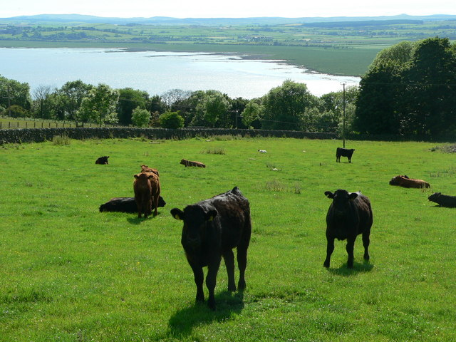 Cattle on Larg Hill