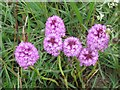 TQ3602 : Pyramidal Orchids by Peter Whitcomb