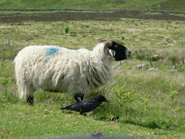 Blackface ewe with all-black friend