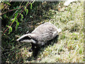 TQ7639 : Baby Badger on Colliers Green Road by Oast House Archive