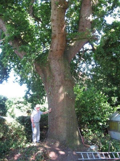 Old Oak in Broadstone