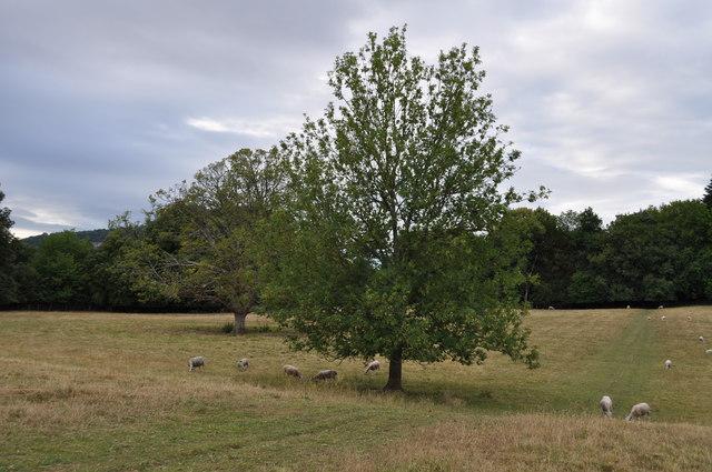 Lone tree on the Offa's Dyke path at Tutshill