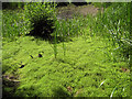 SJ8064 : New Zealand Pygmyweed (Crassula helmsii) by Jonathan Kington